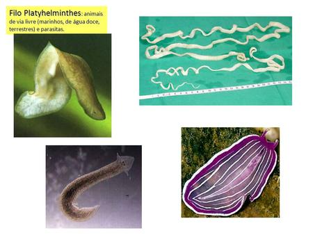 Filo Platyhelminthes: