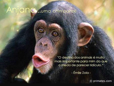 Resultado de imagem para chimpanzés enjaulados