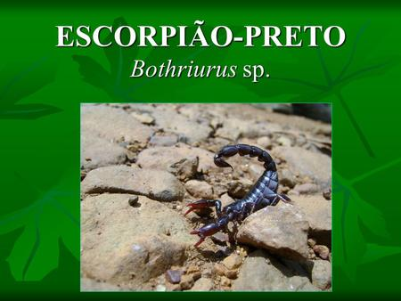 ESCORPIÃO-PRETO Bothriurus sp.