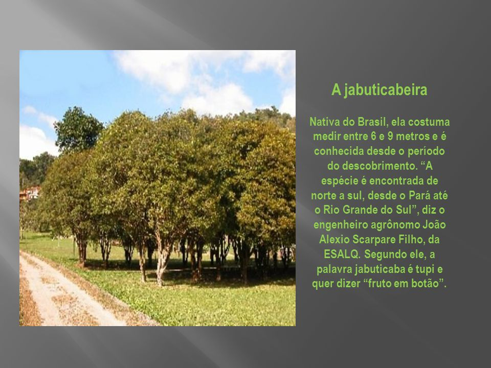A jabuticabeira Nativa do Brasil, ela costuma medir entre 6 e 9 metros e é conhecida desde o período do descobrimento.