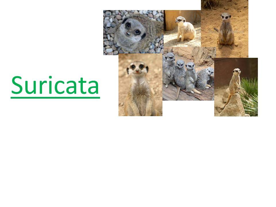 O suricata é um animal mamífero, vertebrado e carnívoro insetívoro e usa pulmões para respirar.