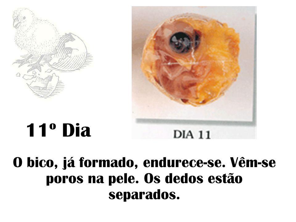 12º Dia O embrião aumenta de peso e funde-se à gema que começa a encolher-se.