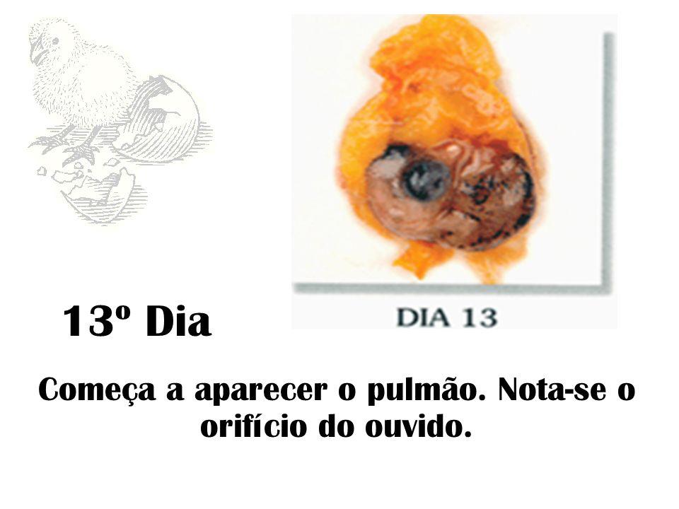 14º Dia Formam-se as unhas e as escamas da pele das patas. Maior crescimento das penas.