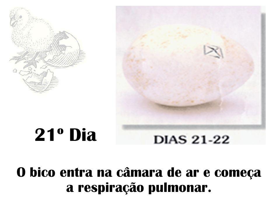 22º Dia O embrião ocupa todo o ovo, começa a picar a casca e iniciam-se os nascimentos.