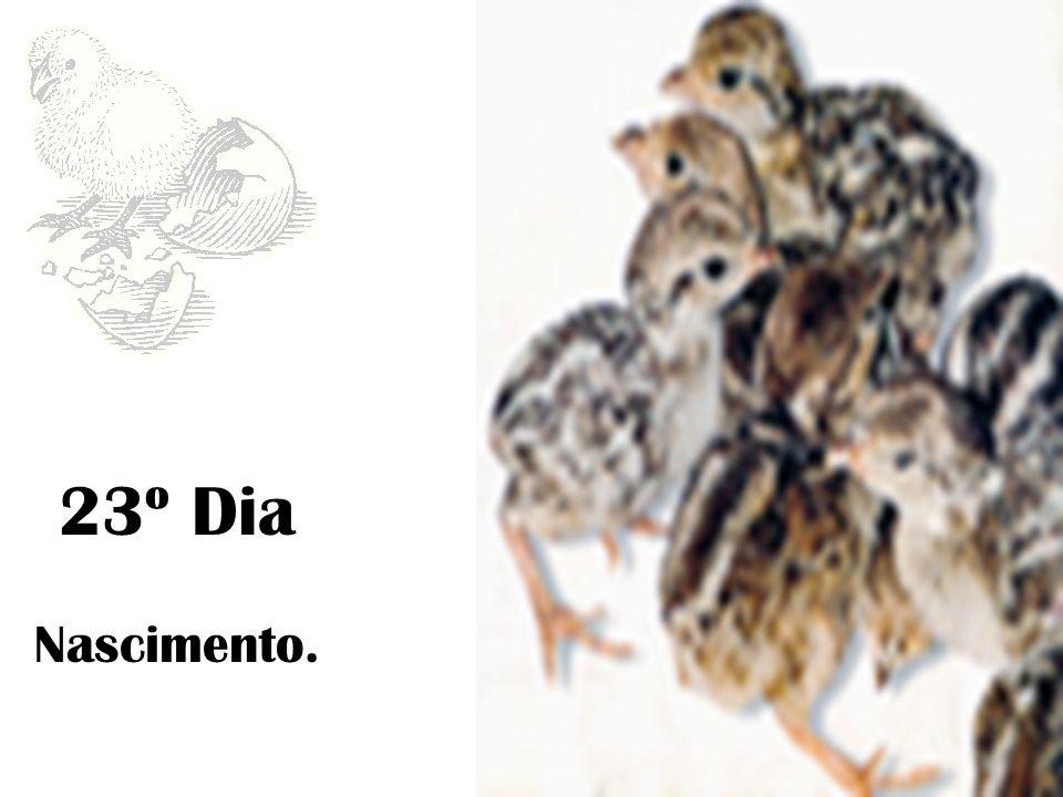 Comportamento e Reprodução (continuação) Eclosão : Maio / Junho 1ª quinzena de Junho, no Sul do País 2º quinzena de Junho, no Norte do País Os perdigotos abandonam de imediato o ninho, após a eclosão e acompanham os pais, por isso se chama uma espécie nidífuga.