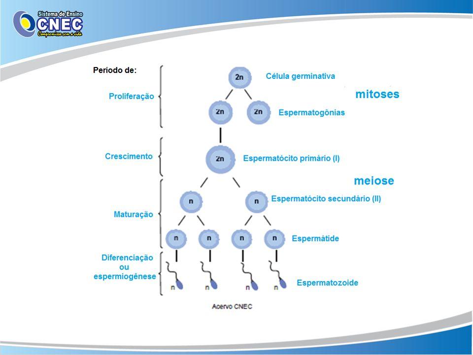 Espermiogênese A última fase da espermatogênese Perda do volume do citoplasma.