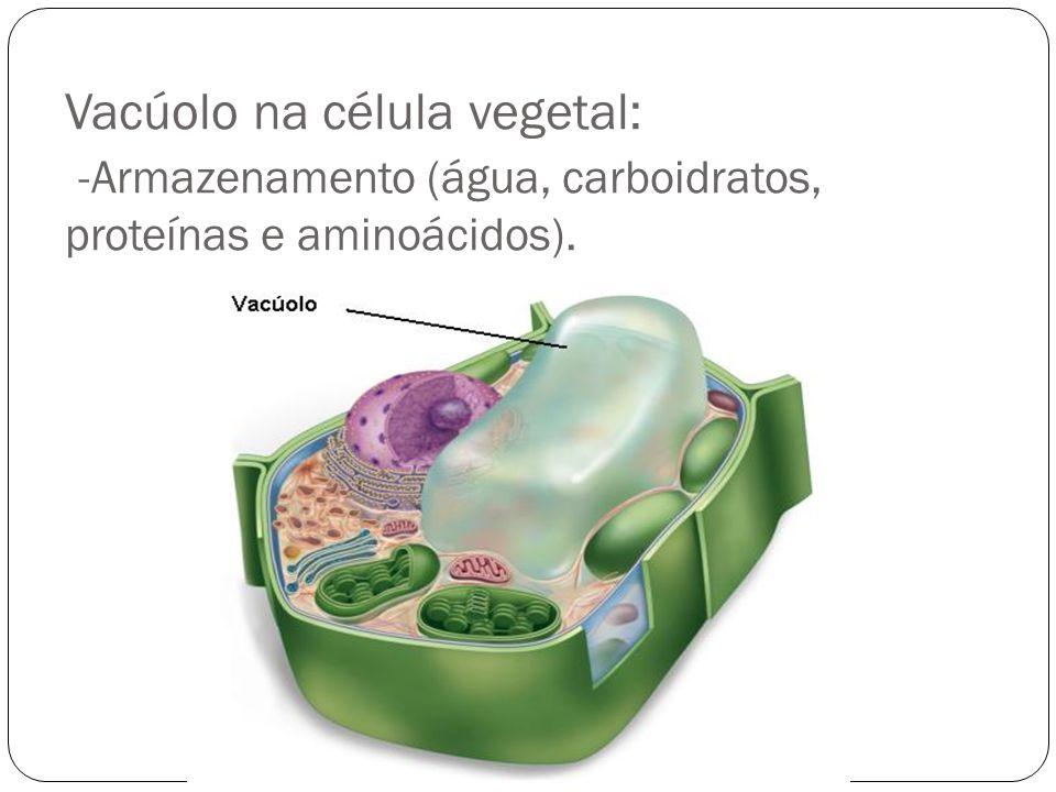Peroxissomos São pequenas vesículas semelhantes aos lisossomos, porém sua enzima principal é a peroxidase (catalase).