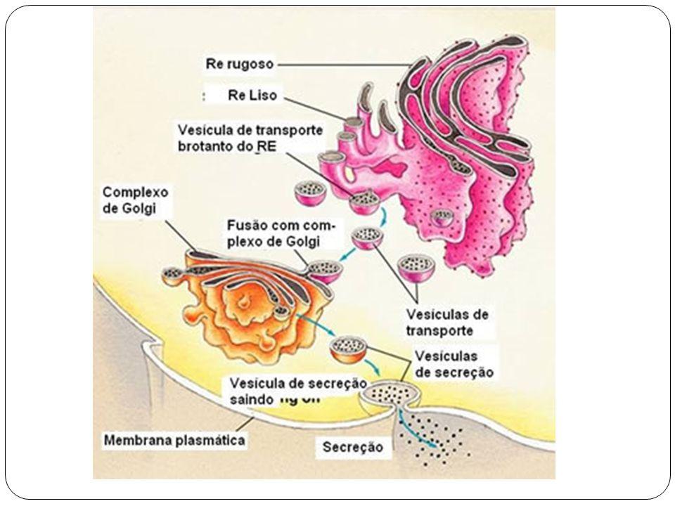 Centríolos Os centríolos são estruturas citoplasmáticas que estão presentes na maioria dos organismos eucariontes.