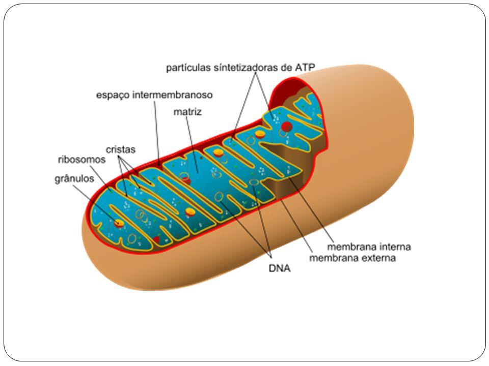A respiração celular No interior das mitocôndrias ocorre a respiração celular, processo em que moléculas orgânicas de alimento reagem com gás oxigênio (O 2 ), transformando-se em gás carbônico (CO 2 ) e água (H 2 O) e liberando energia.