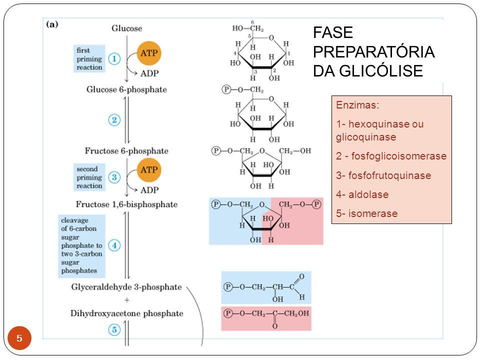 6 Enzimas: 6- gliceraldeído 3-P desidrogenase 7- fosfoglicerato quinase 8- fosfoglicerato mutase 9 – enolase 10- piruvatoquinase FASE DE PRODUÇÃO DE ENERGIA http://programs.northlandcollege.edu/biology/Biology1111/a nimations/glycolysis.html