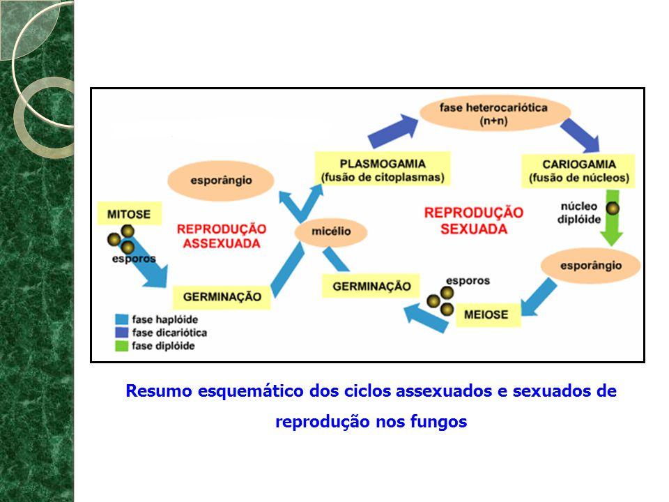 PRINCIPAIS GRUPOS E RELAÇÕES FILOGENÉTICAS ChytridiomycotaZygomycotaAscomycotaBasidiomycota Basidiocarpo Basidiósporo Ascocarpo Ascósporo Corpo de frutificação Zigósporo Perda do flagelo Reprodução por esporos Hifas Absorção de nutrientes do meio Parede celular com quitina