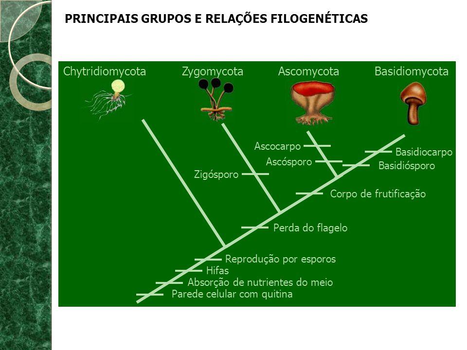 Cythridiomycota (Citridiomicetos ou Mastigomicetos) * Apresentam flagelo em algum estágio da vida (só eles!).