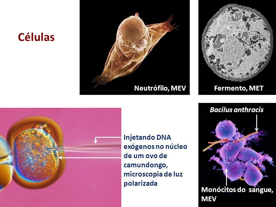 Macrófago, MET Trypanosoma brucei Glóbulos vermelhos Linfócito-T, MET Linfócitos, microscopia óptica Glóbulos vermelhos