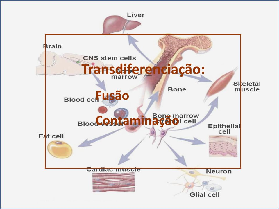 Transdiferenciação: Fusão Contaminação