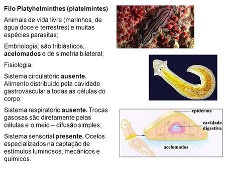 Filo Platyhelminthes (platelmintes)