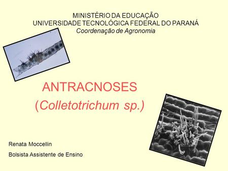 ANTRACNOSES (Colletotrichum sp.)