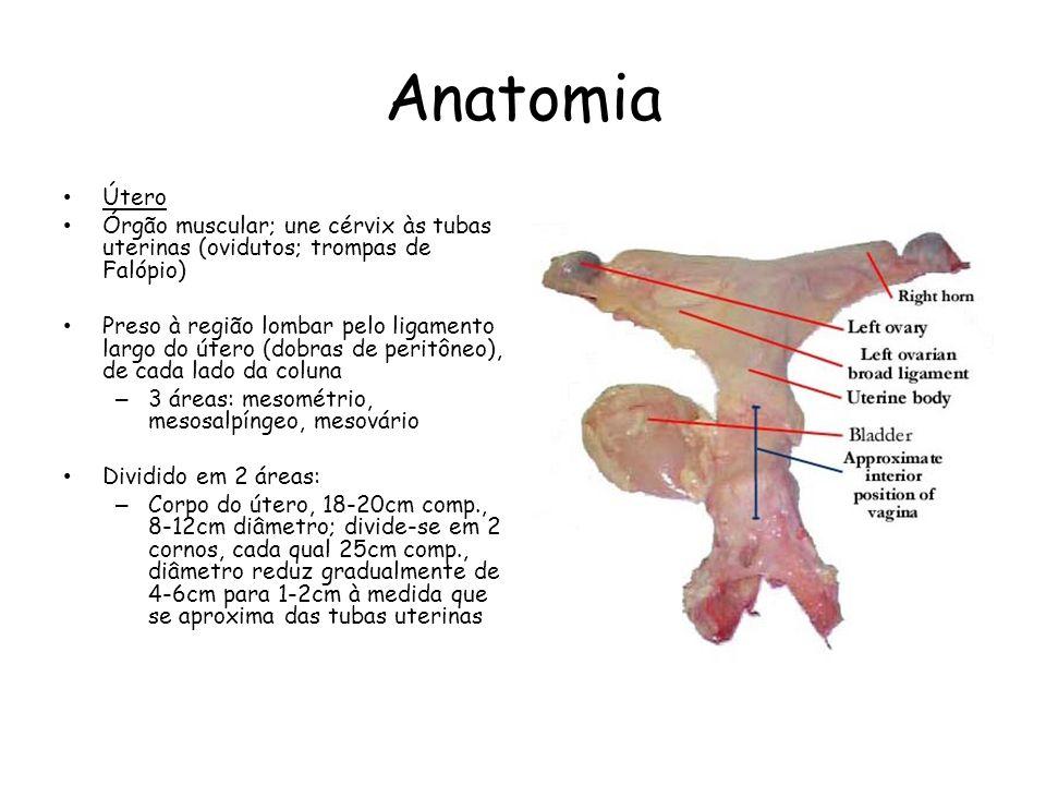 Anatomia Tubas uterinas 25-30cm comprimento, tortuosas, contínuas com os cornos uterinos Diâmetro 2-5mm istmo (próx.cornos) – 5-10mm ampola 3 camadas: – Serosa, contínua com mesosalpíngeo – Muscular longitudinal/circular – Mucosa Fímbrias – atraem e guiam óvulos para a ampola.