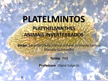 PLATELMINTOS Platyhelminthes Animais Invertebrados