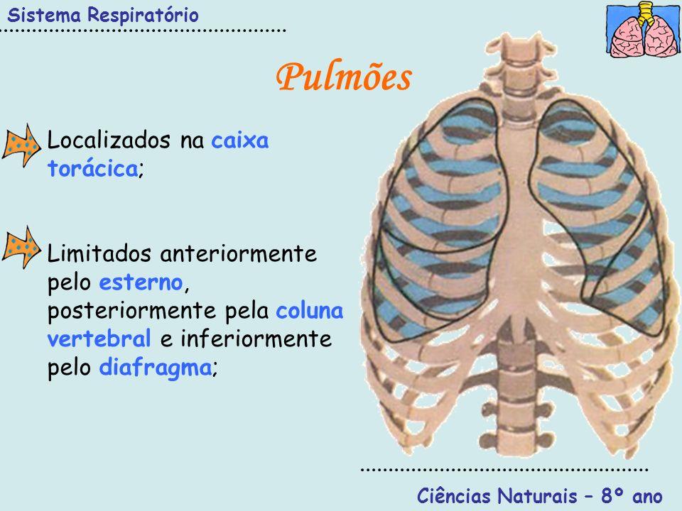 Sistema Respiratório Ciências Naturais – 8º ano Pulmões Estão divididos em lobos (pulmão direito – 3; pulmão esquerdo – 2); Revestidos por uma dupla membrana – pleura – facilita a aderência e o escorregamento dos pulmões na caixa torácica.