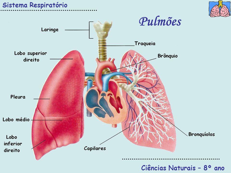 1 3 2 4 Sistema Respiratório Ciências Naturais – 8º ano 1- Coração 2-Pulmão direito 3-Pulmão esquerdo 4-Traqueia 5-Parede torácica 6-Costela 7- Pleura 8- Pericárdio 9- Diafragma