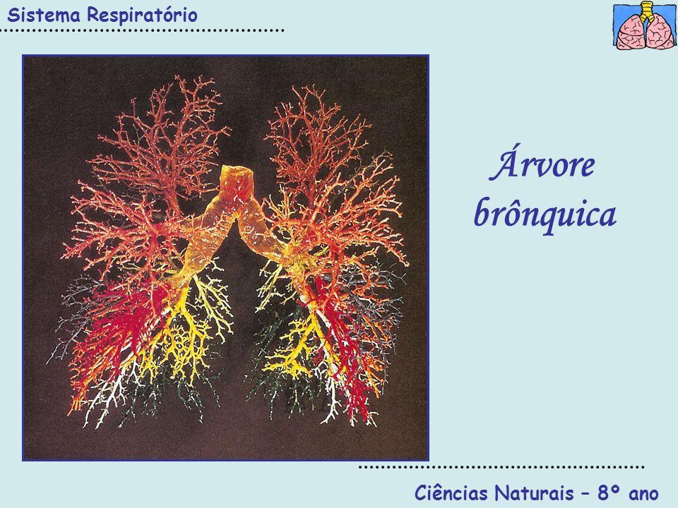 Ciências Naturais – 8º ano Sistema Respiratório Alvéolos pulmonares