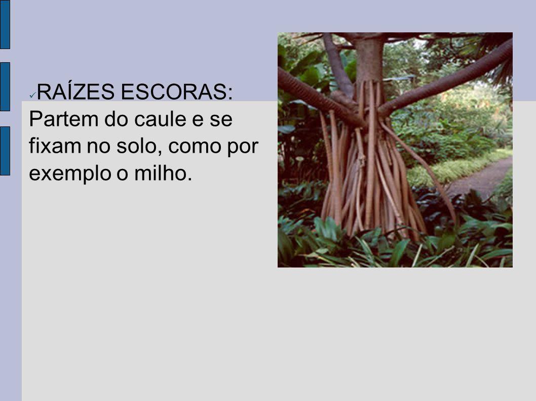RAÍZES TABULARES: São achatadas, lembram uma tábua, encontradas em árvores grandes