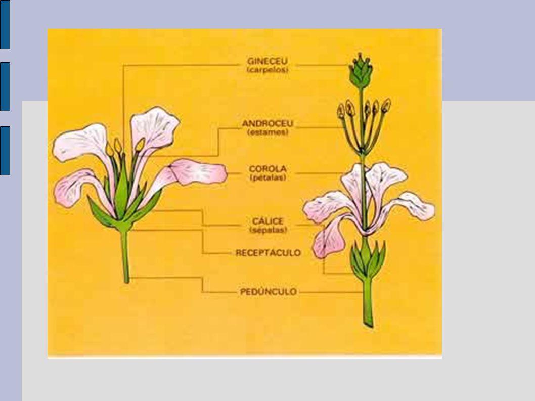 FRUTOS O verdadeiro Fruto se origina do ovário da flor.