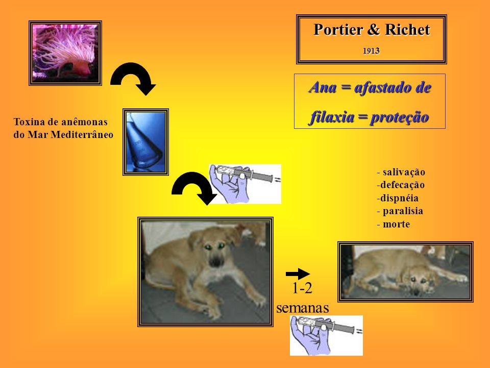 Portier & Richet 191 3 1-2 semanas Toxina de anêmonas do Mar Mediterrâneo - salivação -defecação -dispnéia - paralisia - morte Ana = afastado de filaxia = proteção