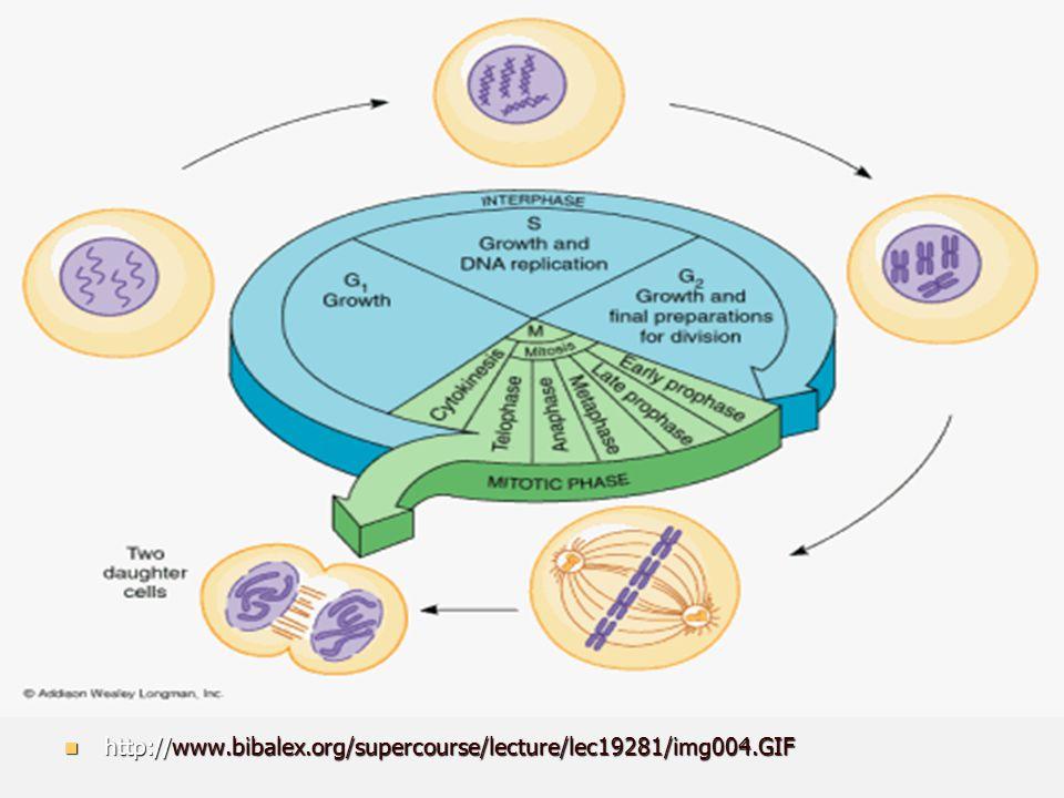 FASES DA MITOSE PRÓFASE PRÓFASE Cromatina começa a se enrolar formando os cromossomos; Cromatina começa a se enrolar formando os cromossomos; Centríolos migram para os pólos rodeados pelo áster que iniciam a formação do fuso acromático; Centríolos migram para os pólos rodeados pelo áster que iniciam a formação do fuso acromático; A carioteca começa a se fragmentar; A carioteca começa a se fragmentar; O nucléolo desaparece.
