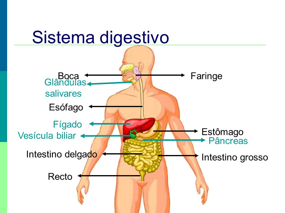 Sistema digestivo Tubo digestivo Glândulas anexas - Glândulas salivares - Fígado - Pâncreas - Boca - Faringe - Esófago - Estômago - Intestino delgado - Intestino grosso - Recto e ânus