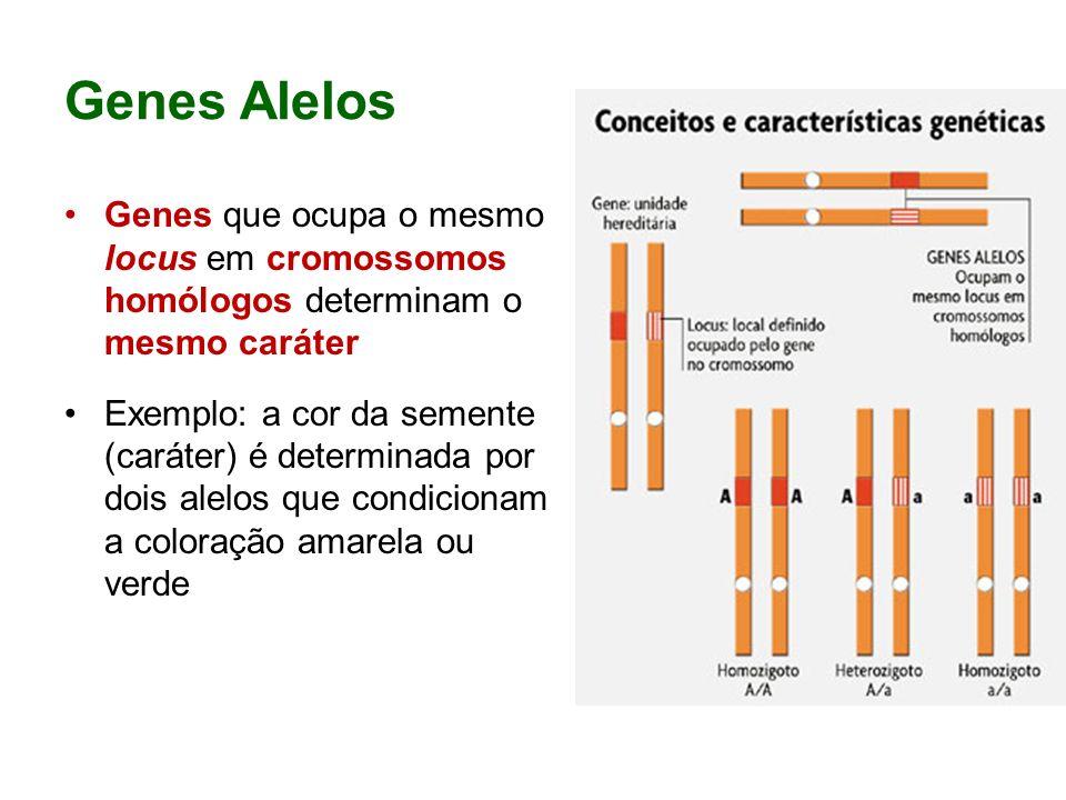 Homozigoto dois genes iguaisIndivíduo que possui os dois genes iguais em um certo locus, sendo considerado puro para o caráter O genótipo do homozigoto é representado por duas letras iguais ( AA ou aa ).