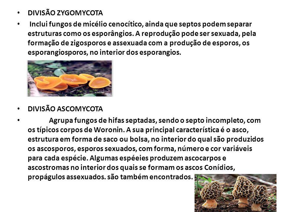 DIVISÃO BASIDIOMYCOTA Compreende fungos de hifas septadas, que se caracterizam pela produção de esporos sexuados, os basidiosporos, típicos de cada espécie.