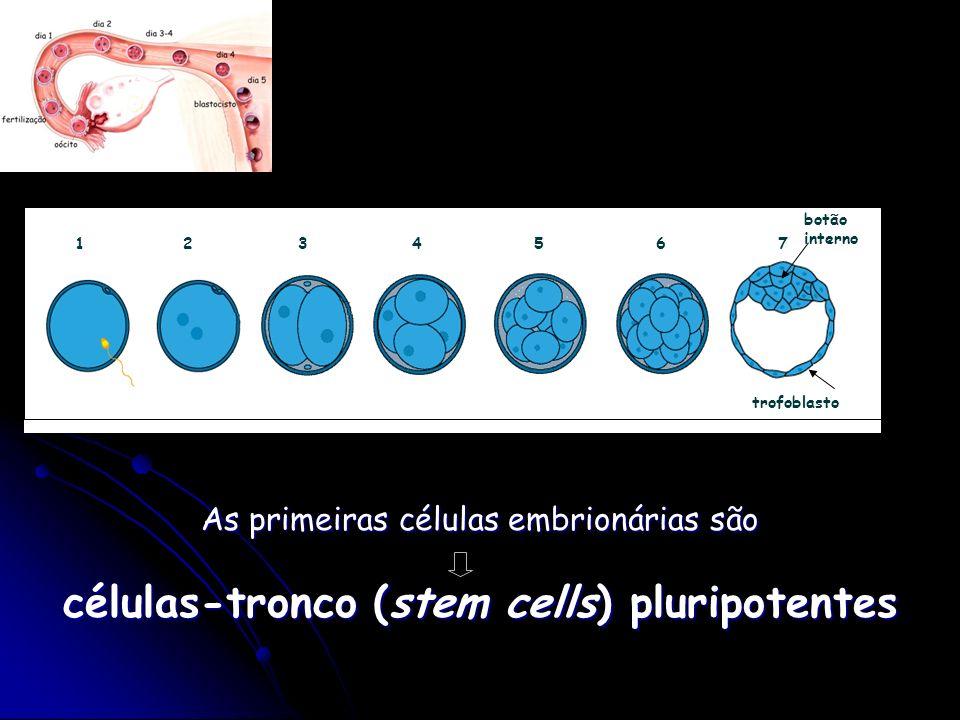 célula-tronco embrionária - pluripotente -