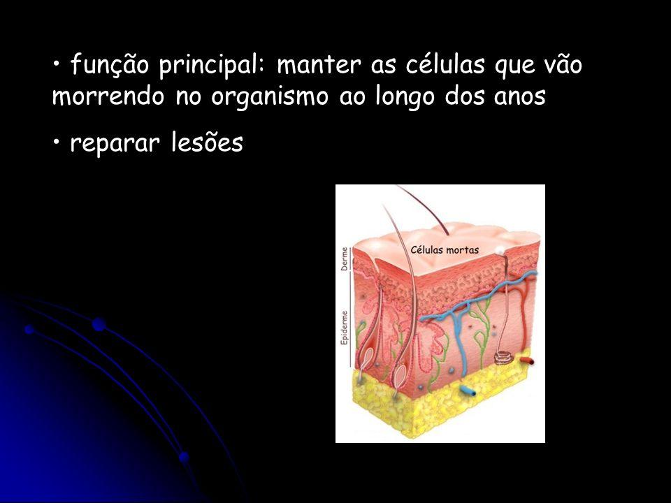 Renovação celular a partir de células-tronco As células sanguíneas são renovadas a partir de células tronco presentes (~0,1%) na medula óssea.