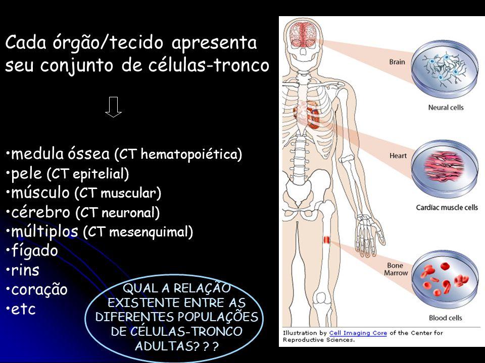 Qual a relação entre os diferentes compartimentos de células-tronco no adulto.