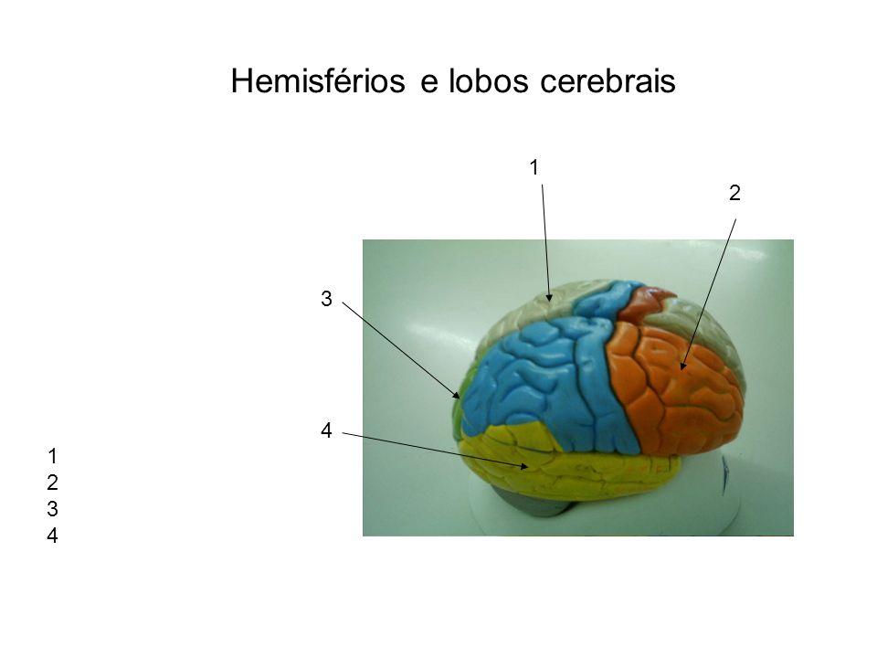 Giros e Sulcos do cérebro 1.18 3 4 5 6 19 9 8 2. 3.