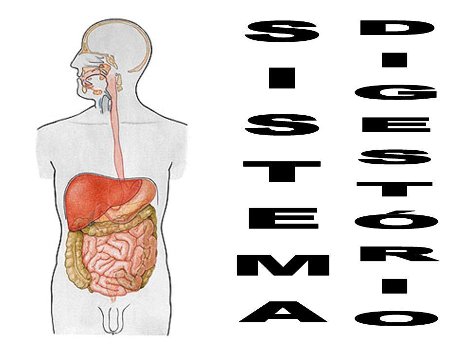 INTRODUÇÃO Alimentos - fonte de matéria e energia Organismos heterótrofos - obtém alimentos de forma pronta (ex:bactérias, protozoários e animais).