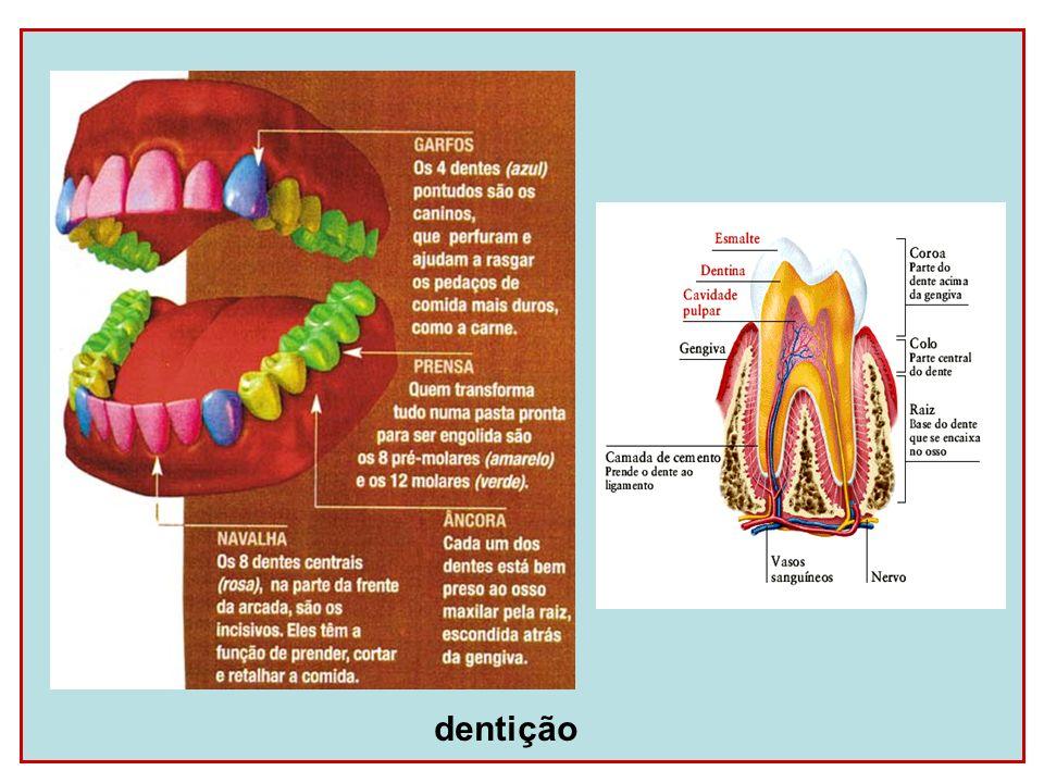 Esôfago Conduz o alimento até o estômago através de movimentos peristálticos