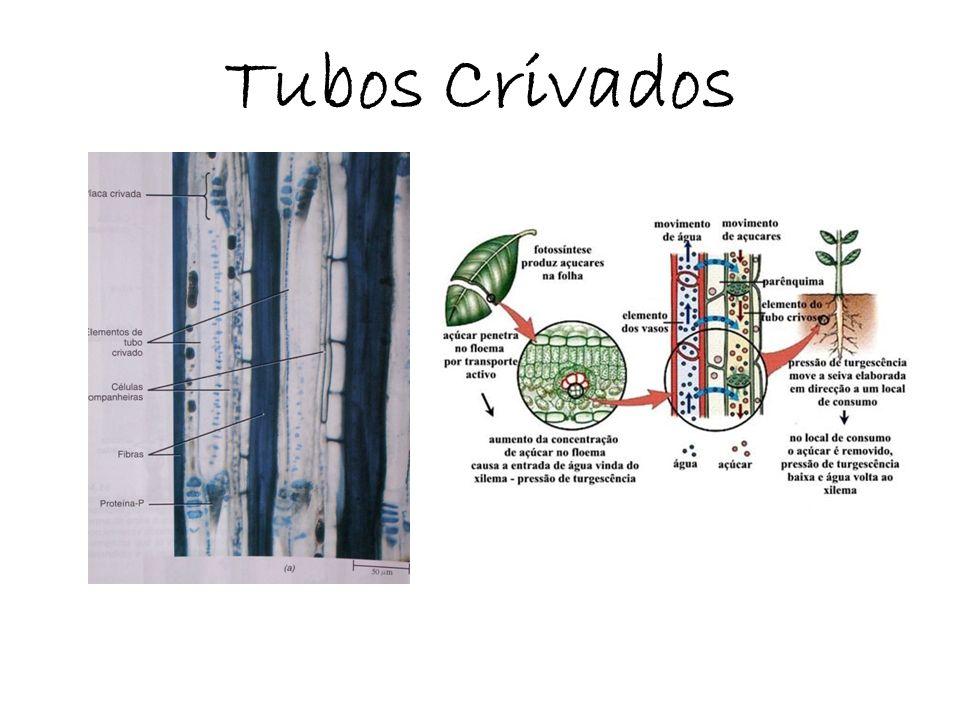 Feixes Vasculares (Xilema e floema primários) Monocotiledôneas Dicotiledôneas Colaterais fechados Colaterais abertos (sem câmbio) (com câmbio)