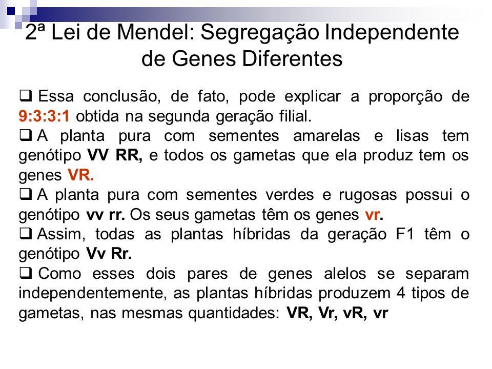 2ª Lei de Mendel: Segregação Independente de Genes Diferentes Com a união desses tipos de gametas, a segunda geração filial irá apresentar os possíveis descendentes: