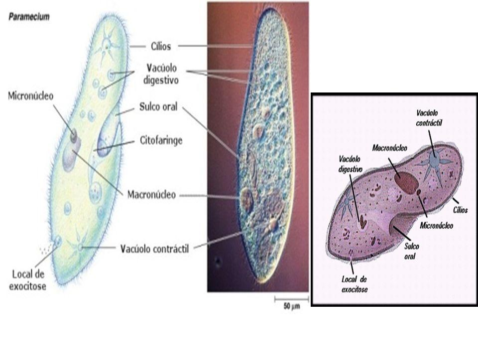 Sporozoa Não possuem estrutura locomotora.