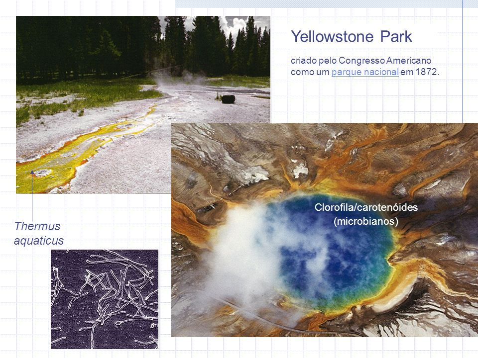 Hipertermófilos, termófilos extremos Crescimento: > 80 °C Crescimento ótimo acima de 100 °C Faixa: 80 -113 °C A maioria são Archaea Encontrados em ventarolas marinhas e geyseres - Sulfolobus acidocaldarius (Yellowstone) - Pyrobolus fumarius (ventarolas) Cresce a 113 °C e para de crescer a 90 °C