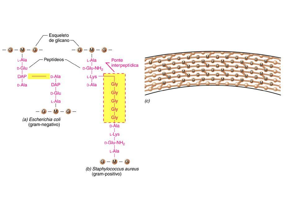 b) De acordo com suas respostas à coloração de Gram, as bactérias se dividem em 2 grupos: Dinamarquês Christian Gram (1853-1938) Gram negativas: 10 % de peptideoglicano (1-2 camadas) 2-3 nm Gram positivas: 90 % da parede formados de peptideoglicano (até 20 camadas) 30-60 nm