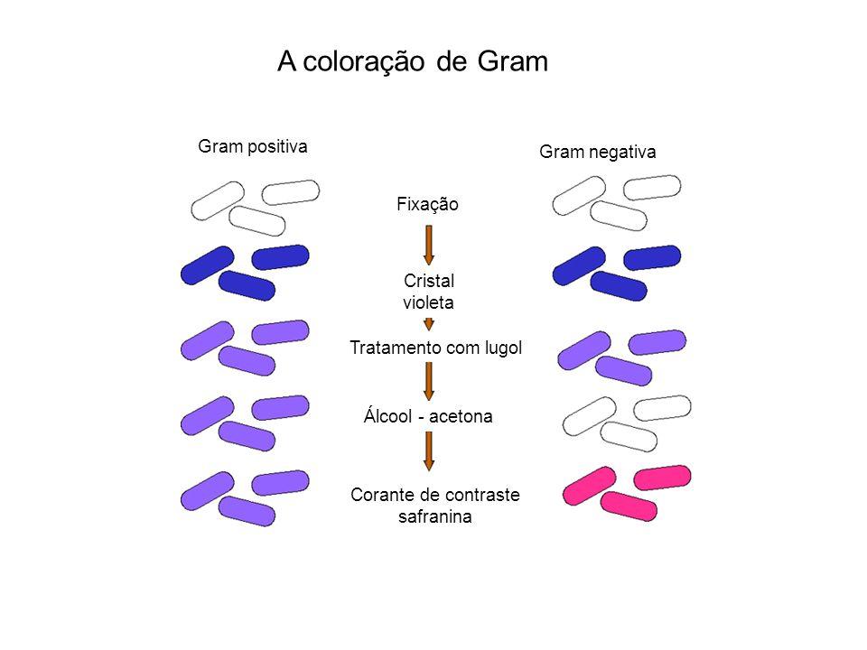 c) Membrana externa de bactérias Gram negativas (camada LPS) Camada dupla, composta de: fosfolipídeos proteínas lipídeos Polissacarídeos lipoproteínas Maior rigidez à parede celular Seus componentes são tóxicos quando injetados em animais Participa do processo de nutrição formando canais de passagem