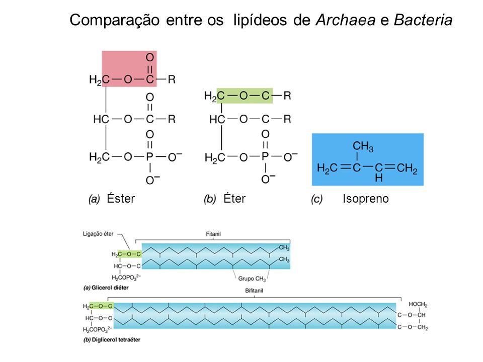 Funções da membrana a) permeabilidade * permeável à água e a substâncias de baixo PM solúveis em gorduras (ácidos graxos, álcool, benzeno) * não permeável a moléculas com cargas: aminoácidos, ácidos orgânicos, sais, H + (H 3 O + ) b) transporte * importância para os procariotos * proteínas de transporte * contra um gradiente de concentração * alta especificidade c) produção de energia: sítio de geração e utilização da força próton motiva