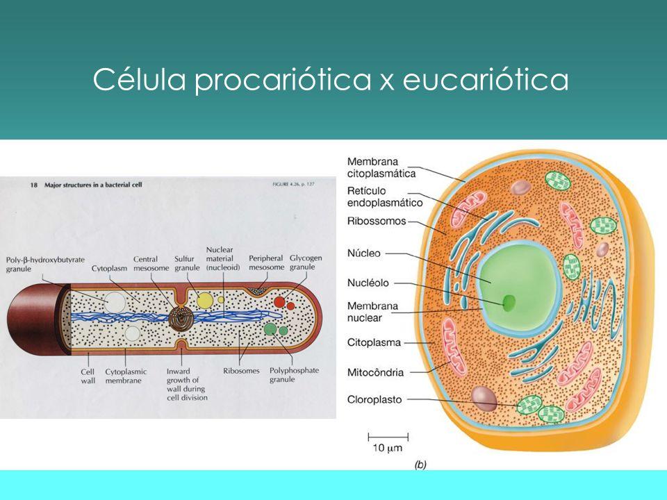 Tamanho da célula procariótica Unidade de medida: m (micrômetro) Tamanho variável:0,1-0,250 m Thiomargarita namibiensis : 700 m !.