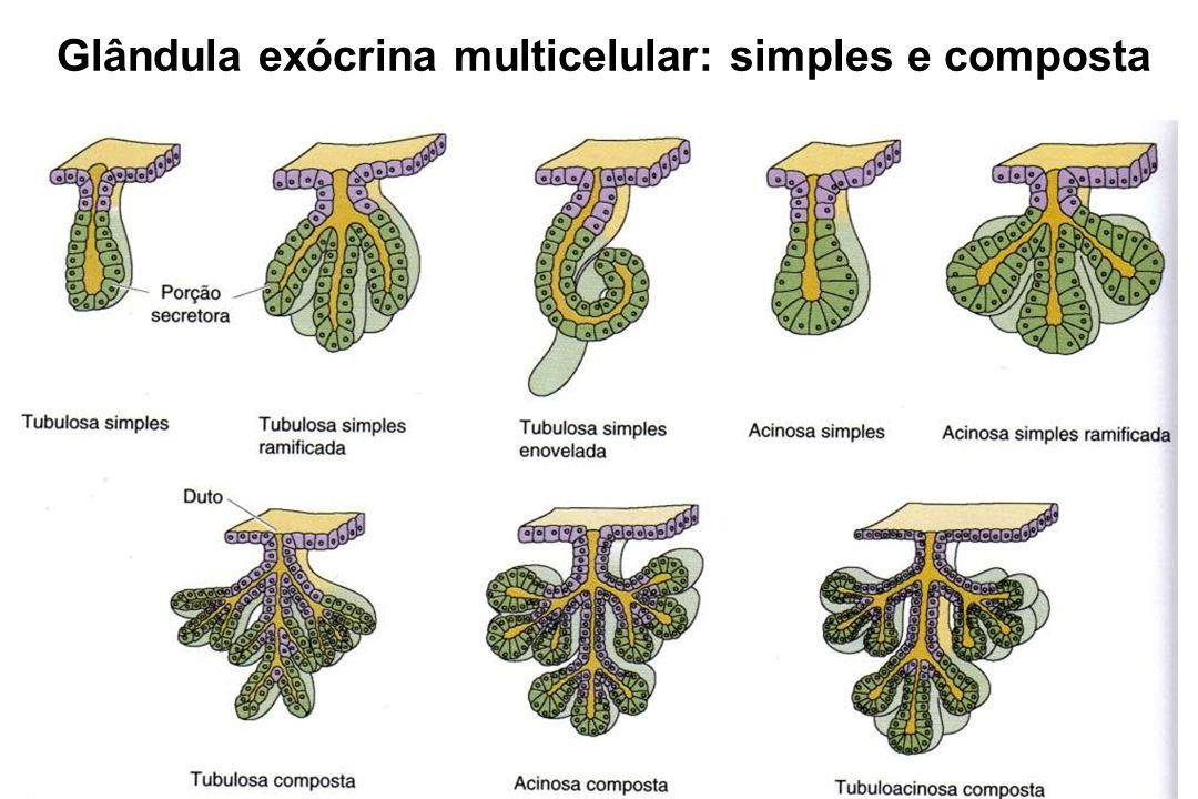 Adenômero: unidade morfofuncional das glândulas GLÂNDULAS EXÓCRINAS Ross et al. (1993)