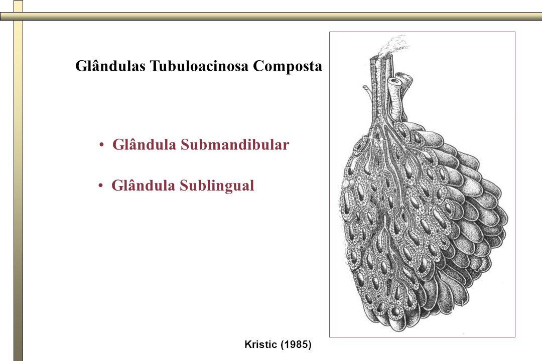 Glândula exócrina composta túbulo-acinosa sero-mucosa (Glândula submandibular) porção secretora - células mucosas e serosas células serosas - organizam-se em adenômeros acinosos; células mucosas - organizam-se em adenômeros tubulosos vários ductos com diferentes calibres - composta