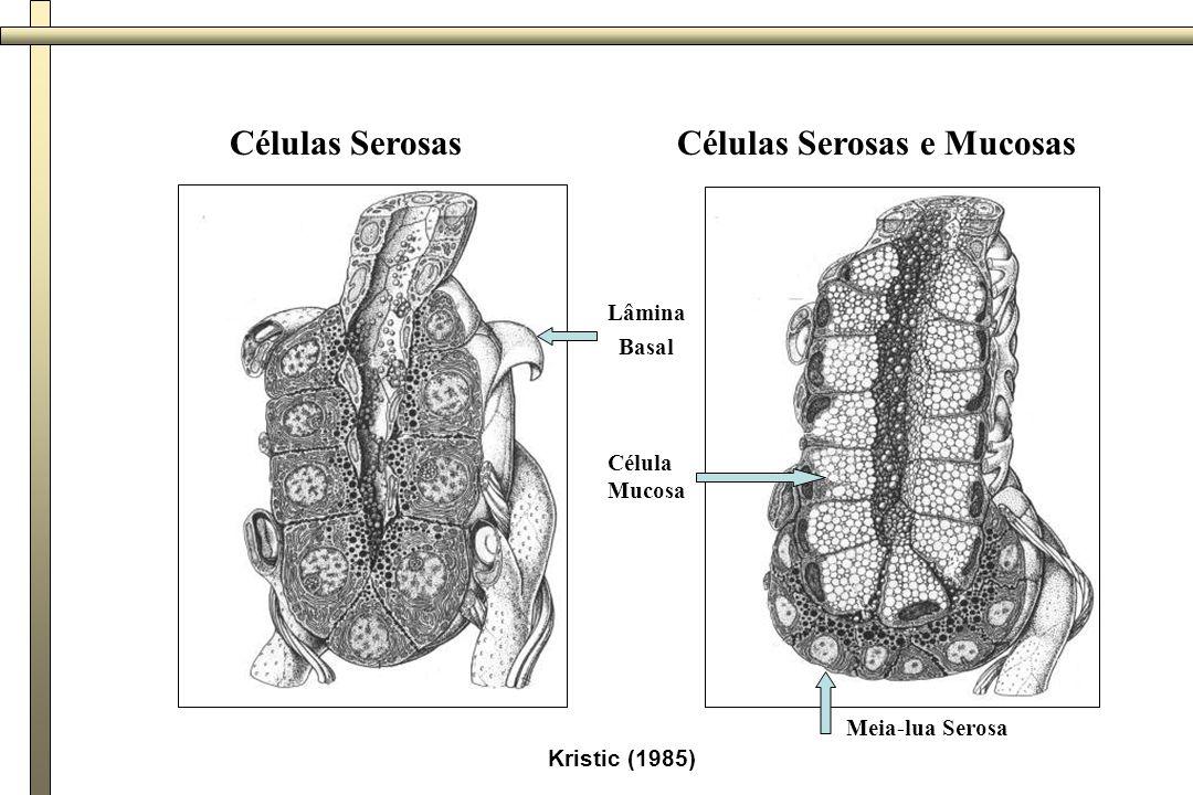 Glândula submandibular CT=septos conjuntivos SA=ácinos serosos MA=ácinos mucosos SD=semilua serosa D=ductos