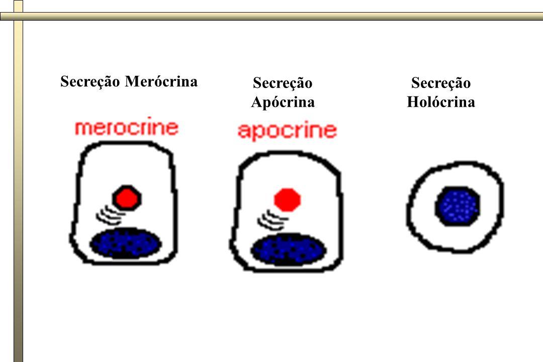 Glândulas endócrinas: Sem ductos, secreção liberada no sangue ou vasos linfáticos Mecanismo de secreção: Molécula sinalizadora Impulso neural Célula alvo Liberação do hormônio Vaso sanguíneo ou linfático